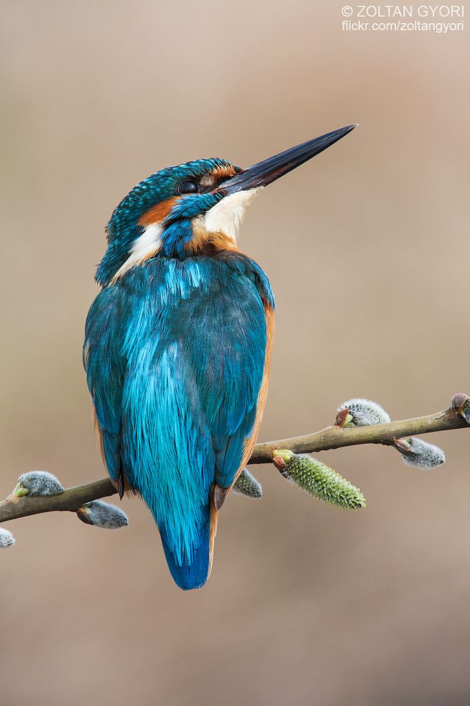 Kingfisher (Alcedo atthis) - Flickr - Photo Sharing!
