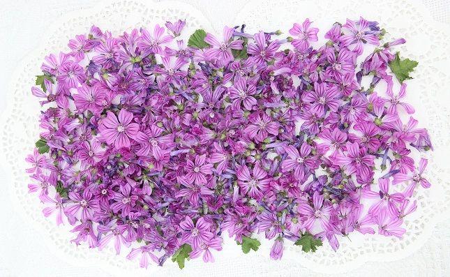 Ramasser et faire sécher des fleurs de mauves, pour une infusion...