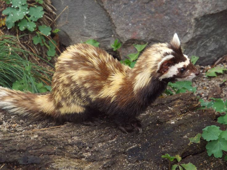 The marbled polecat (Vormela peregusna)