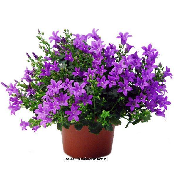 Очаровательная кампанула – одно из наиболее обильно цветущих комнатных растений.