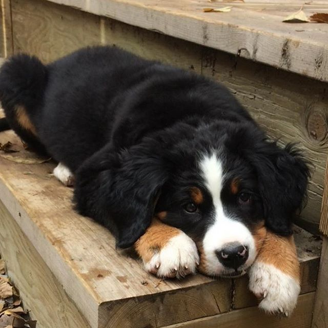 Just one stair is enough exercise for the day. @mulligan.the.berner