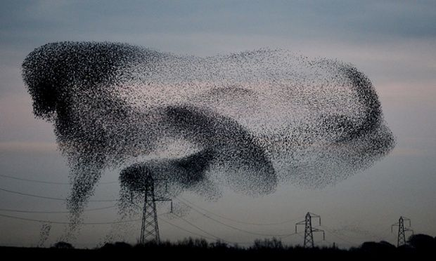 A murmuration of starlings above the the small village of Rigg, near Gretna, in the Scottish Borders by Owen Humphreys