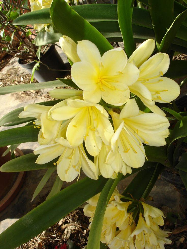 Jard n y planta cultivada clivia miniata clivia for Matas ornamentales