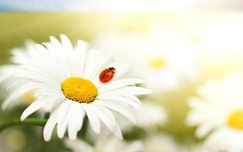 Resultado de imagem para ladybug on flower