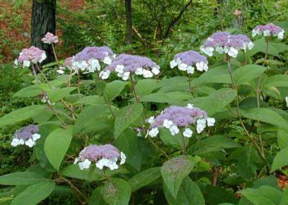 Hydrangea aspera - trade gallon