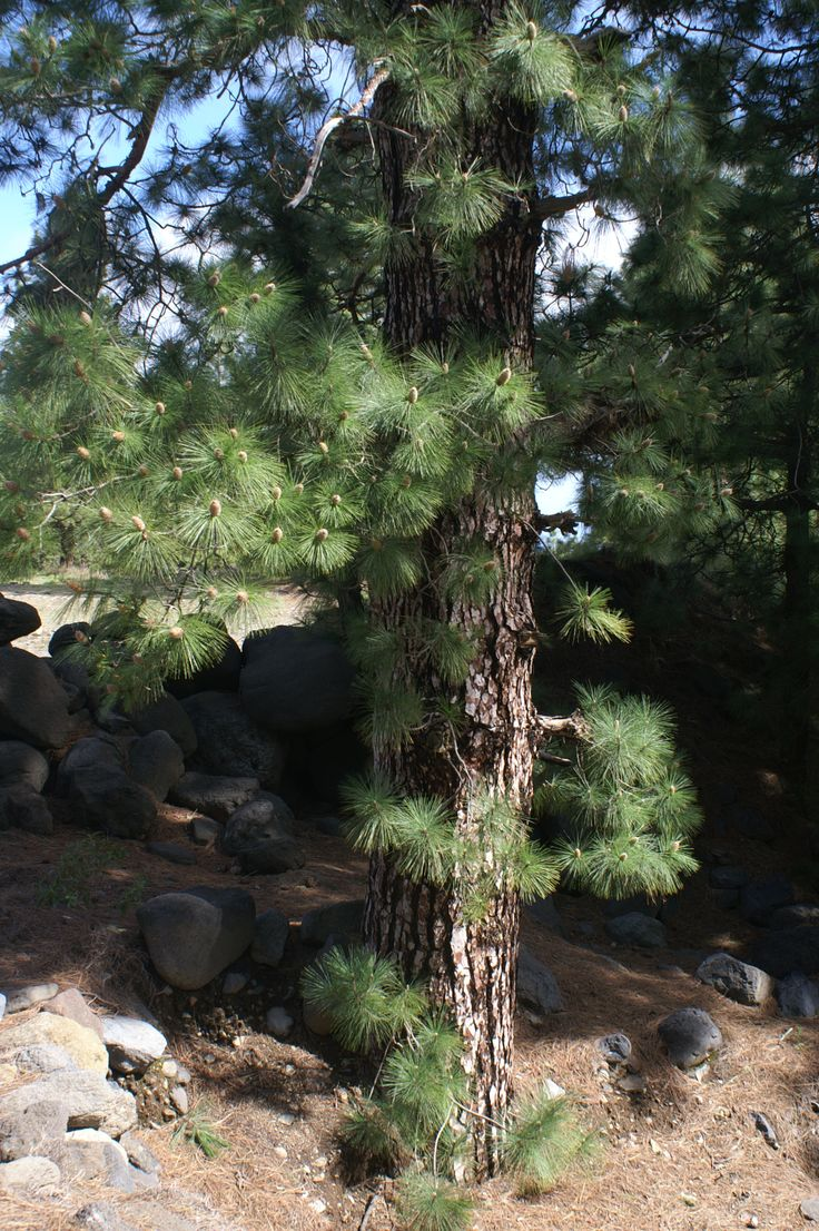 Unlike other pine, Canary Pine has short branches on the trunk