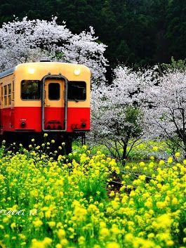 桜情報:小湊鉄道飯給駅  桜の季節が近づいてきましたので千葉県をアピール! 人気のローカル線「小湊鉄道」例年多くのカメラマンが訪れます 2015年の撮影に...