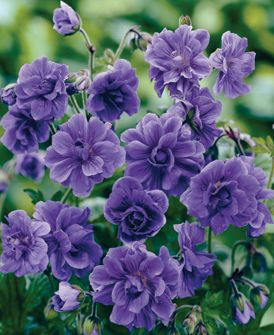 Hardy geraniums are known to spread quickly, but the varieties in this collection don't self-seed, so you won't be inundated with plants. They are the perfect ground cover for your perennial borders though.