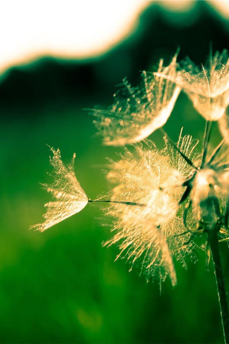 Selective Focus of White Dandelion
