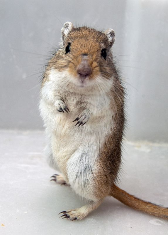 How many gerbils did I have named Joey?