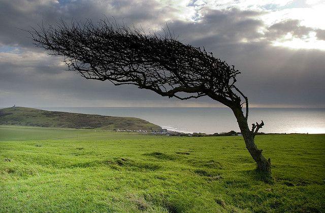 wind swept tree