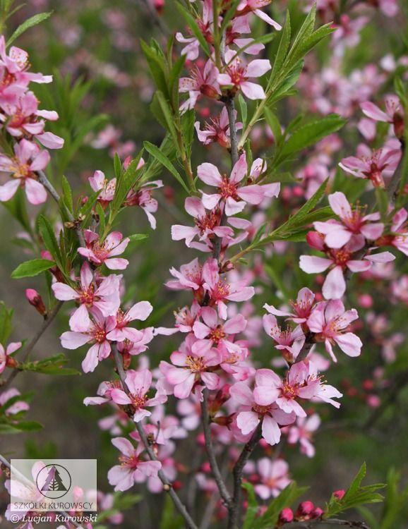 Prunus tenella  - Migdałowiec karłowy