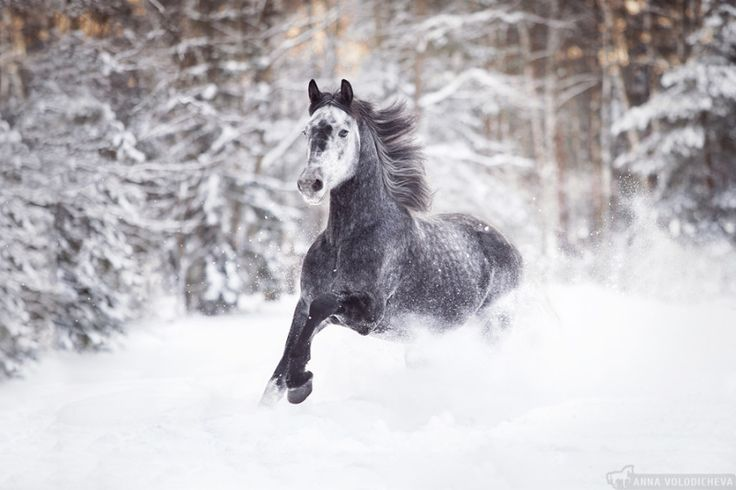 Winter freedomBeautiful winter day. The picture stallion named Star Trek. Orlovsky trotter, born in 2012 by Volodicheva of Annawww.equestrian.ru