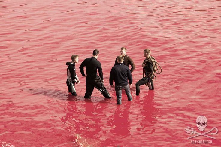 Graphic Footage Shows Mass Slaughter of Pilot Whales in the Faroe Islands