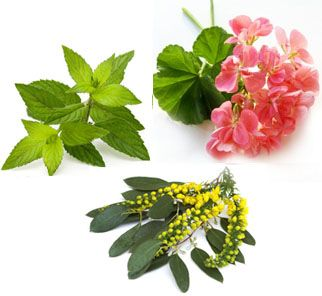Make Your Own Aromatherapy Mood Mists--  A QUICK PICK-ME-UP  1 drop eucalyptus essential oil  2 drops geranium essential oil  3 drops peppermint essential oil