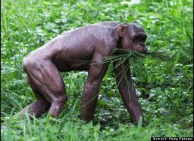Guru, The Hairless Chimp Looking almost like a bronze statue of a person, Guru the hairless chimpanzee eats in his enclosure at India's Mysore Zoo. Guru lost all his hair to alopecia, a condition that can also affect humans.