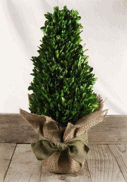 "Boxwood Tree Preserved 16"""
