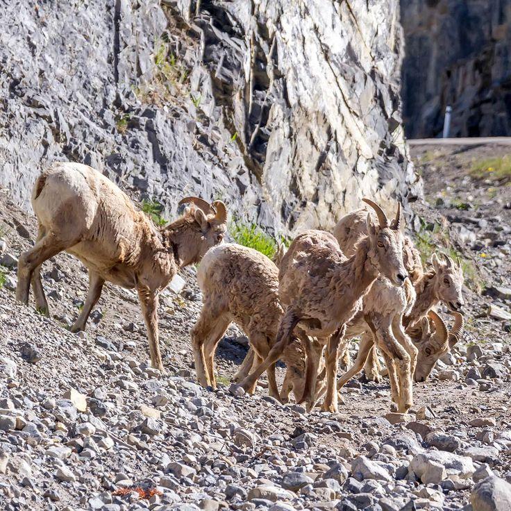 mountain sheep on highway 40 Alberta