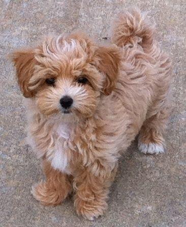 Past Puppies, Maltipoos, Shih Poos