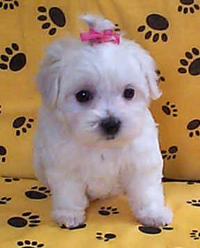 My Pek a tese is very lazy and lovable she loves to play with other dogs. She thinks she is bigger than them when she's not. My Maltese Pekingese puppy