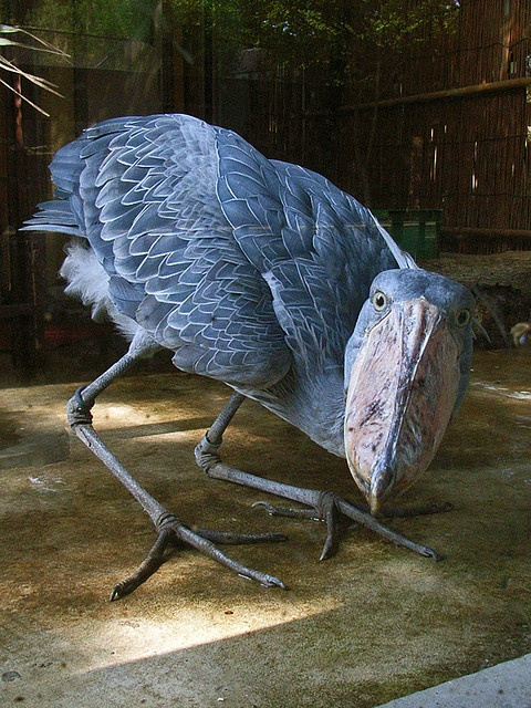 shoebill... I love birds, but this one is pretty scary!