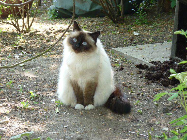 Purdy our b and b Birman cat.