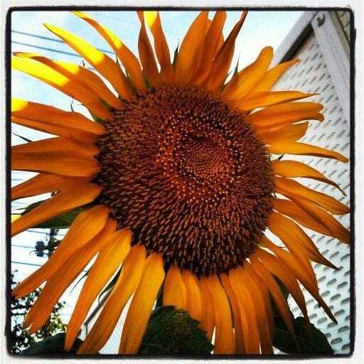 My favorite, sunflower. So big, it, cheerful flowers.