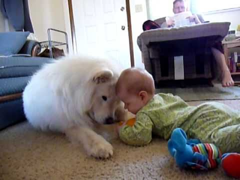 """Best friends - playing for the first time •   """"Our Samoyed, Bear and little K playing together for the first time. They continue to be great friends"""" • by kleeoak"""