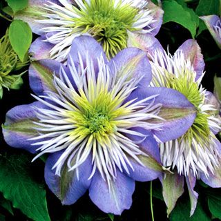 This exciting new Clematis combines unusual flower form with super long bloomtime to give you 5 months or more of glorious color! Very vigorous and easy to grow, Crystal Fountain™ will soon reign in your sunny garden!