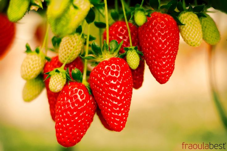 Production - Quality | FraoulaBest© System (Hydroponic Strawberry)