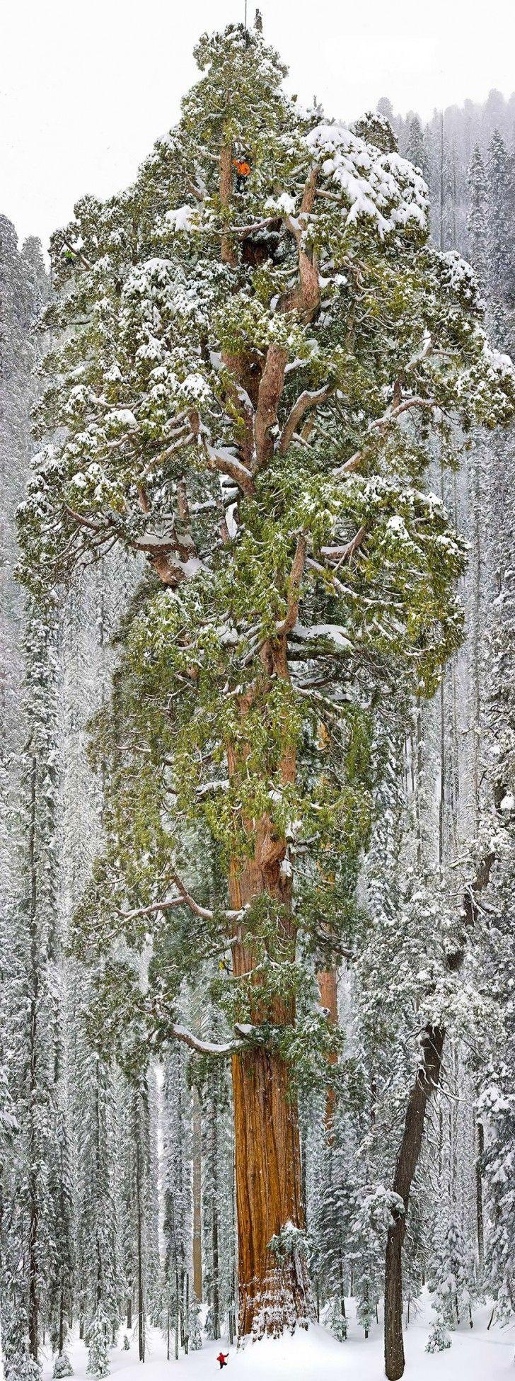 La terza sequoia più grande del mondo si trova nel parco Nazionale del Sequoya, in California, dove è presente questo esemplare alto 73 metri e con una circonferenza di 28 metri. The third worlds largest sequoia is the National Park of Sequoya, in California, where there is this specimen 73 metres high and with a circumference of 28 meters.