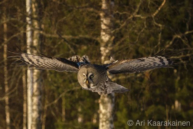 Petolinnut - Raptors - Ari Kaarakainen