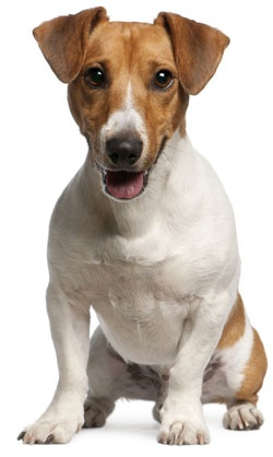 Jack Russell Terrier (Smooth)...Our Rusty is a JR Smooth.