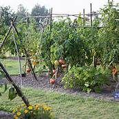 Tomato Garden Design Bing Images Cool Tomato Gardens