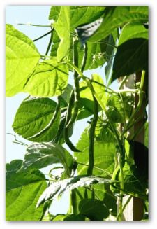 Green beans  I want these.  Tips for planting green beans