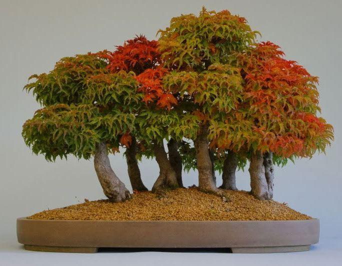 'Shishigashira' Japanese Maple bonsai forest