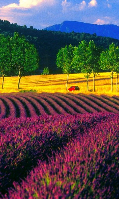 Lavender Fields in France - #amazing #awesome #blue #yellow #red