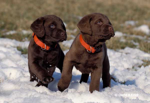 Chesapeake Bay Retriever puppies playing in snow and my future dog