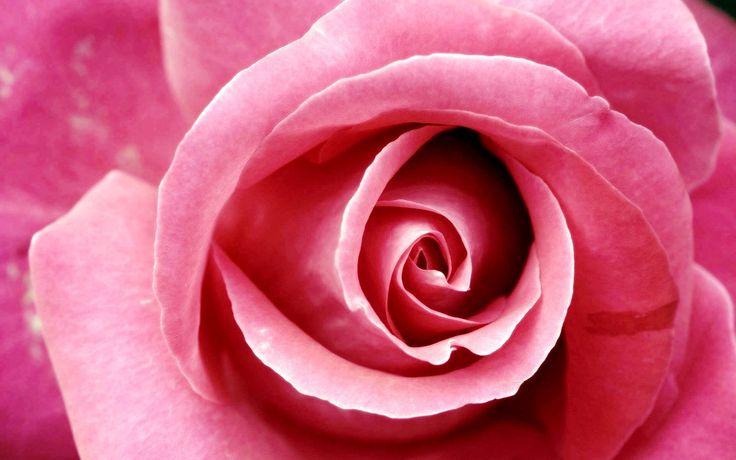 fotografie | Hauptseite > BlumenHD Hintergrundbilder > rosa Rose Fotografie