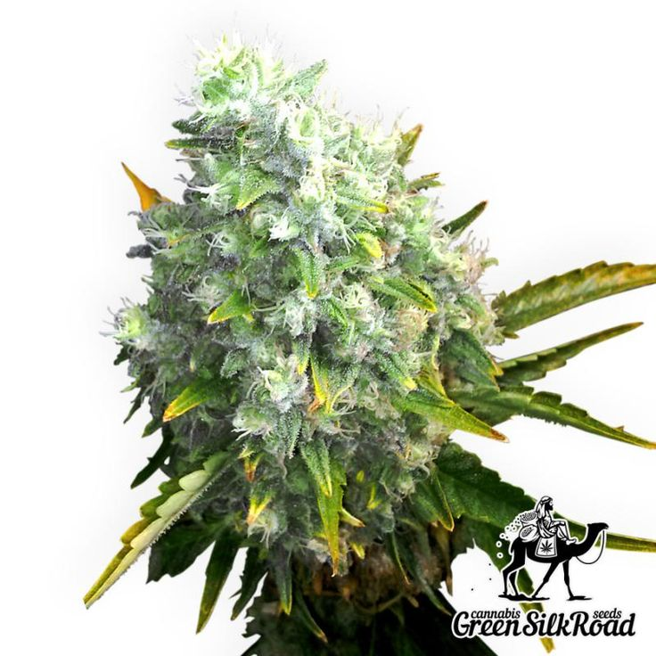 Auto OG Kush Feminised is a mysterious strain which can please with its superior flavor, yield and simplicity. A skilled grower can obtain around 600 grams per square meter. Its low 140-centimeter bushes will bring a luxurious citrus flavor with bright notes of pepper, leave a delicious high and light relaxation. During ripening you will see the plants covered with a thick layer of sticky aromatic resin rich in THC (22%).