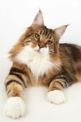 Julescoon.co.uk - UK Breaders of Maine Coon cats - Kittens