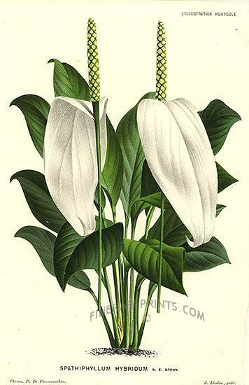 Spathiphyllum sp. (Araceae) G, H. vitorlavirág D-Am. (NEOTROPIS)