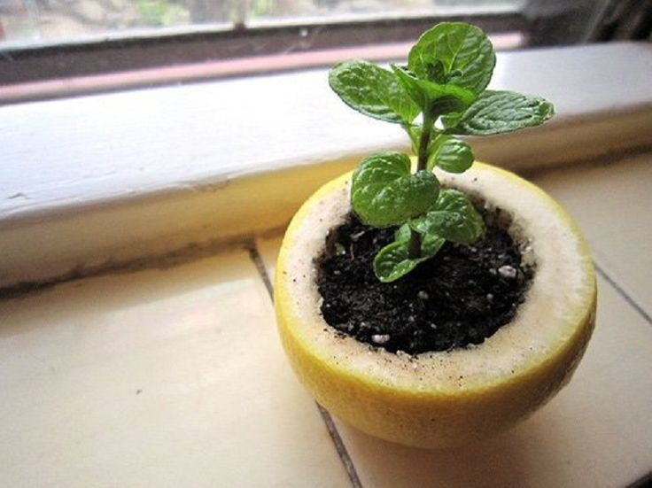 Use a lemon rind to start a seedling. Not only is it eco-friendly but you can use it indoors without filling the room with the soil's smell.