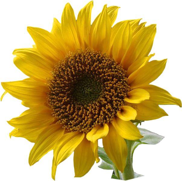 103 best Sunflowers images on Pinterest | Sunflowers, Fashion ...