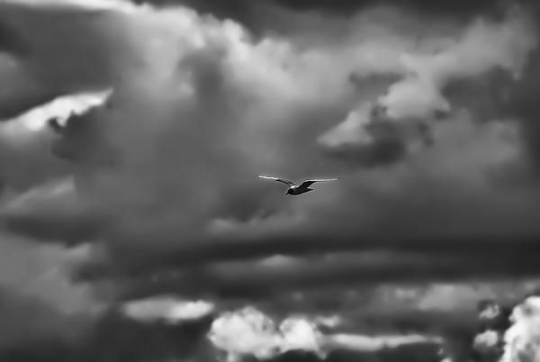 Black And White Artistic Painterly Black Headed Gull Soaring Summer 2014 Leif Sohlman  |