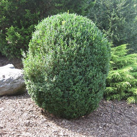 American Boxwood Reaching heights of 10-12 feet, with an 8-10 foot spread, and sporting extremely dense foliage, the noble American Boxwood is the ideal choice for a privacy screen to buffer any neighborhood noise. backyard?