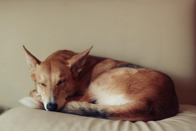 Bella Nina  #nina #perrita #dogs #cute #sleep #nap #dormir #siesta #sillon #comoda #hermosa #adorable #precious #pet #pets #dogsofinstagram #ilovemydog #dogs #instagramdogs #dogstagram #nature #animal #animals #petstagram #picpets #cutie #life #doggy #petsagram #dogoftheday #friendlypets #dogscorner #tagsta_nature #happy_pet
