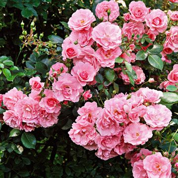 Bonica rose...one of many shrub roses that are disease resistant and easy to grow...see other varieties too!