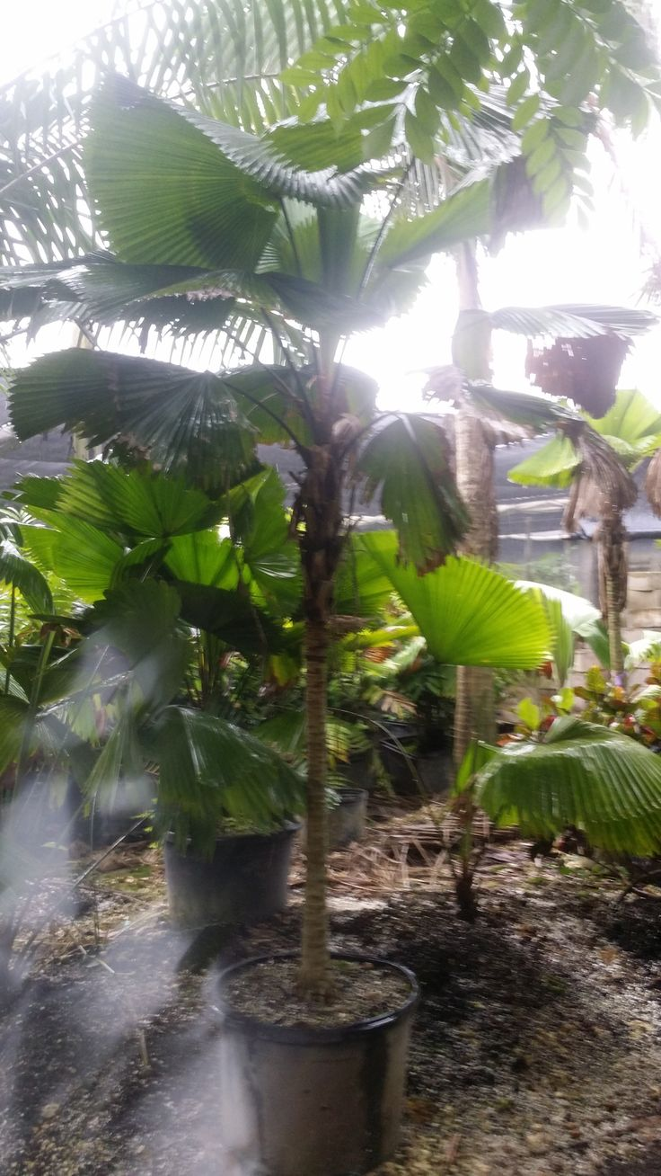 1000 Images About Rare Island Tropical Foliage Homestead