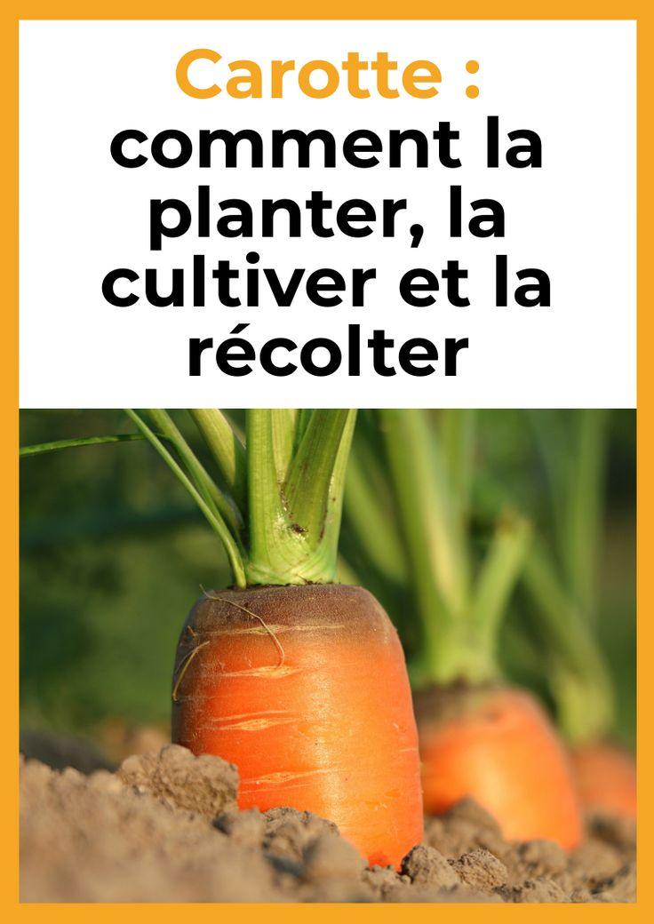 Carotte comment la planter, la cultiver et la récolter
